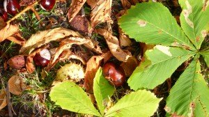 Chestnuts or Conkers in Kensington Gardens