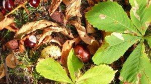 Chestnuts or Conkers in Kensington Gardens
