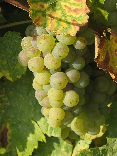 French Wine Alsace Grapes