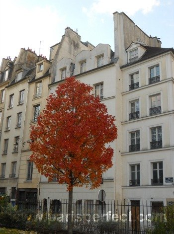 Paris Perfect Autumn Tree Latin Quarter