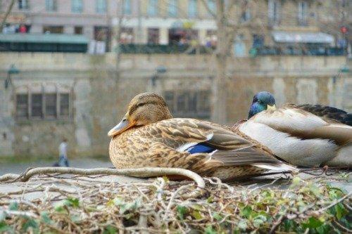 Ducks Along the Seine Martha Jackson