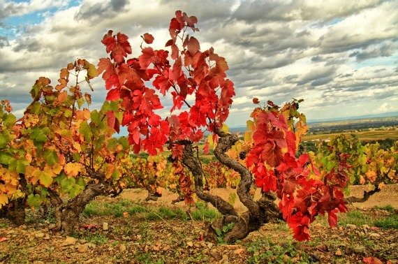 French wines, Gamay, vines, Autumn in France, Beaujolais