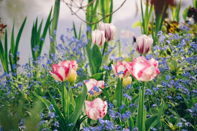 Tulips-Spring-Giverny-1