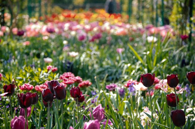 Tulips-Spring-Giverny-5