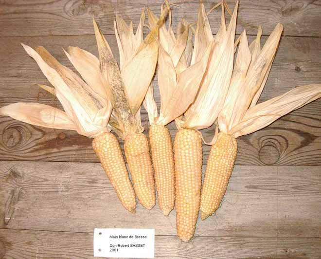 Even the corn they are fed is pale in color due to the acids in the soil.