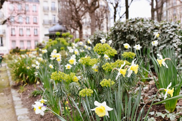 Spring daffodils in a Paris park near Notre Dame