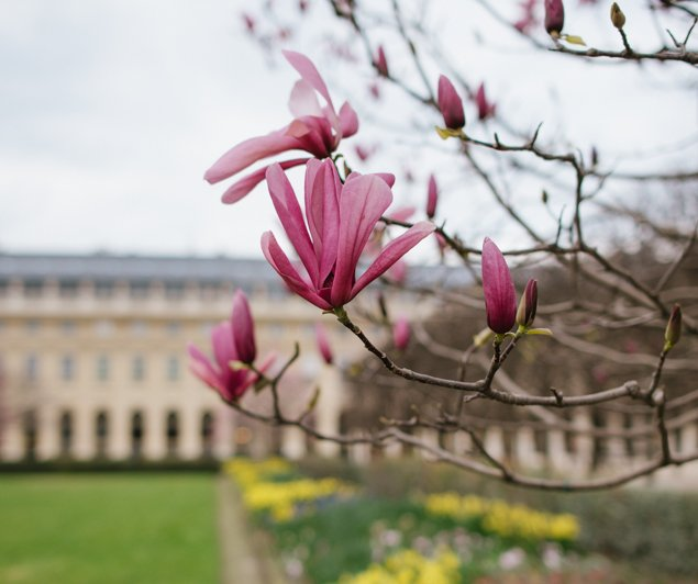 Magnolias and daffodils blooming in the Palais Royal Garden - Image by Hannah Wilson