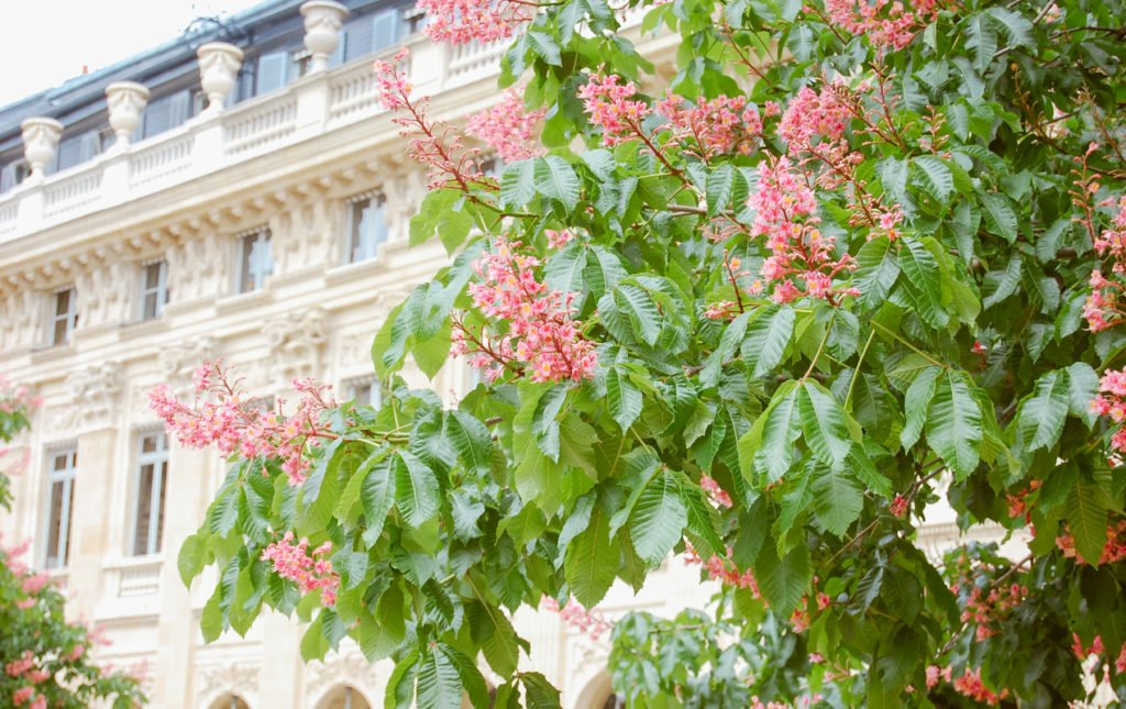 Blooming Tree in the Palais Royal | Paris Perfect