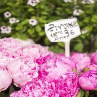 Where to See Spring Flowers in Paris by Paris Perfect Pink Flowers