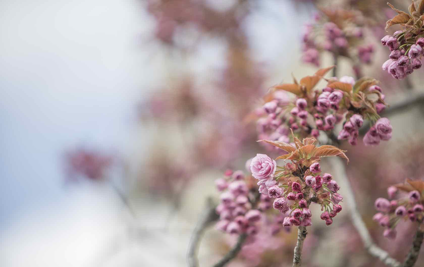 Where to See Spring Flowers in Paris by Paris Perfect pink blooms