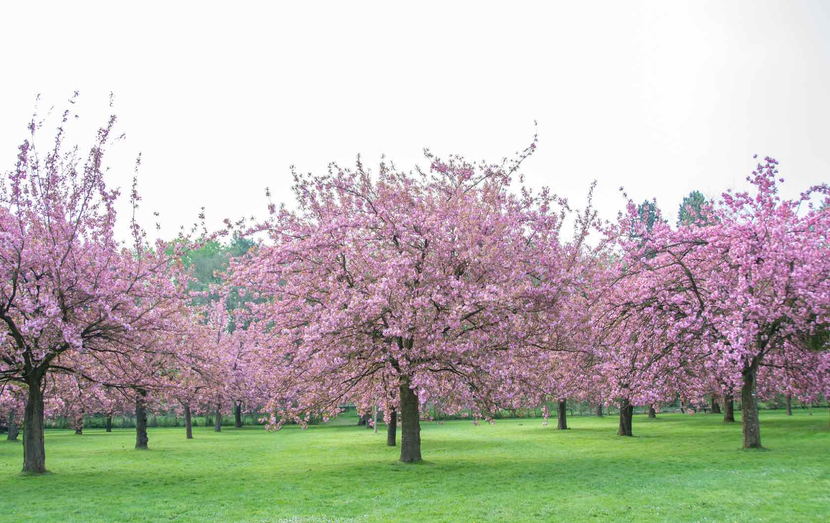 Where to See Spring Flowers in Paris by Paris Perfect Cherry Blossoms