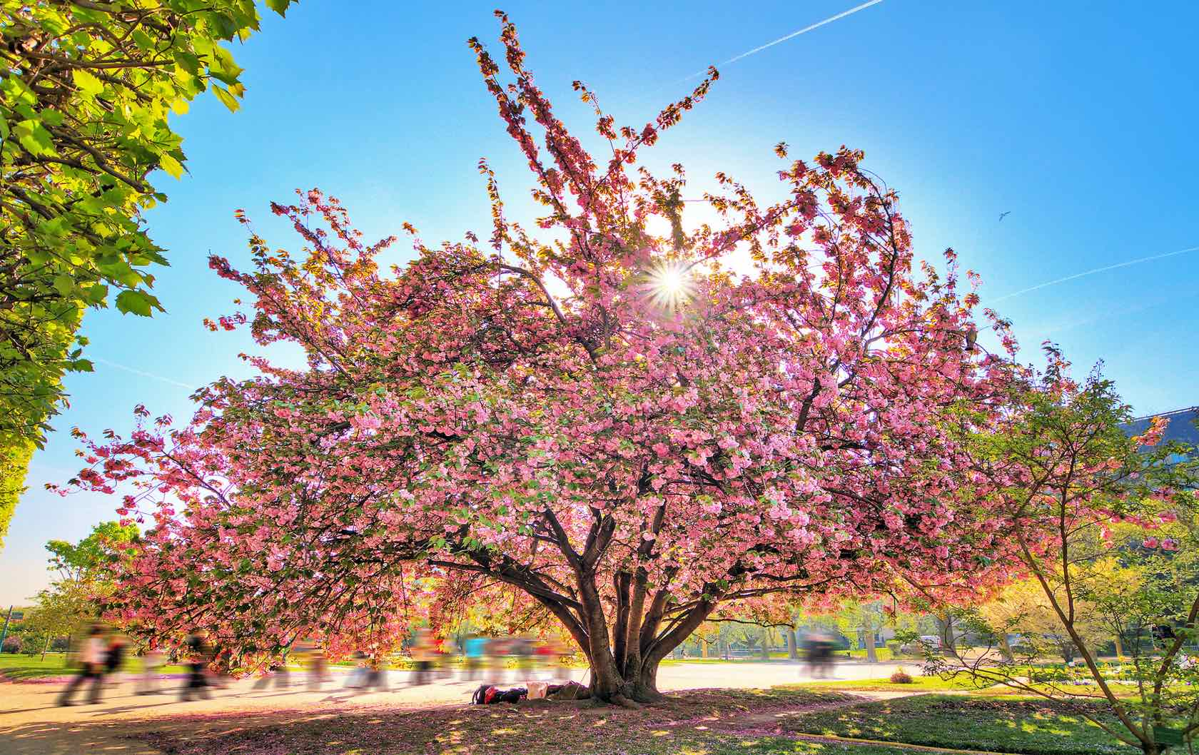 Where to See Spring Flowers in Paris by Paris Perfect Flowering tree